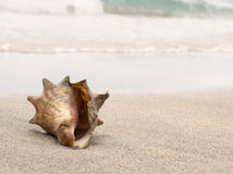 Conch shell washed up on the shore of a white sand beach Stock Photo