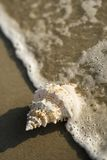 Conch shell in wave. Royalty Free Stock Photo