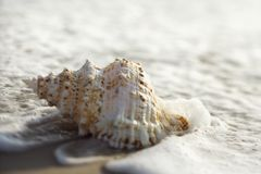 Conch shell in waves. Conch shell with waves engulfing it Royalty Free Stock Photos