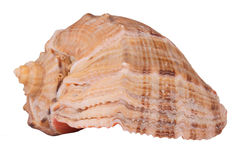 The Conch Shell On the white background Royalty Free Stock Image