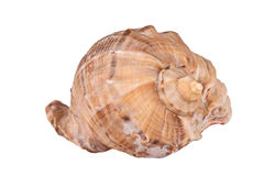The Conch Shell On the white background Royalty Free Stock Photo