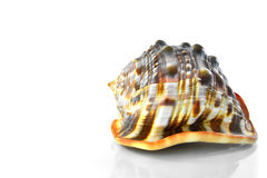 Conch Shell. On white reflective background Royalty Free Stock Photo