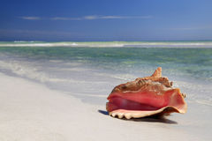 Conch Shell  on White Sand Beach Stock Images