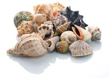 Conch shells Stock Images