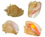 Conch Shells in 4 views Royalty Free Stock Image