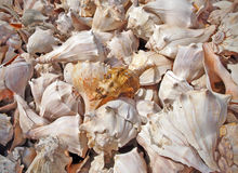 Conch Shells Background Royalty Free Stock Photo