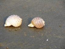 Conch shells Stock Photos