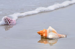 Conch shells on the beach Stock Images