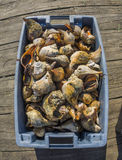 Conch shells on fishing dock Stock Photo