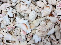 Conch shells and pebbles Royalty Free Stock Images