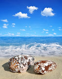 Conch shells Stock Photos
