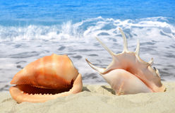 Conch shells Royalty Free Stock Photos