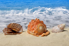 Conch shells. In sand on beach Stock Photos