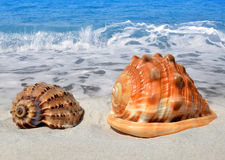 Conch shells. In sand on beach Royalty Free Stock Image