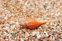 Conch Shells Royalty Free Stock Photography