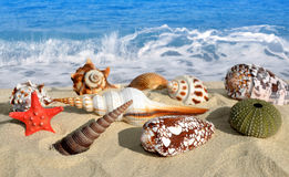 Conch shells with starfish Royalty Free Stock Images