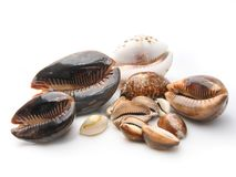 Conch Shells On White Background Stock Photography