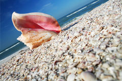 Conch on Shore. Pink conch shell on seashore with blue sky Royalty Free Stock Photo