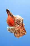 Conch Snell. Beautiful conch shell on blue background with reflection Royalty Free Stock Image
