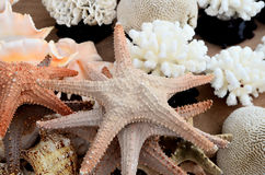 Conch and starfish Royalty Free Stock Photo