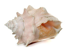 Conch in studio. Conch shell in front of white background Stock Images