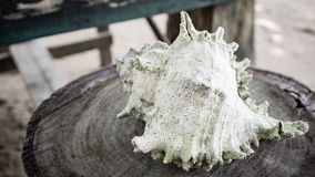 Conch on a trunk. White Green conch on a trunk Stock Image