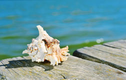 Conch on a wooden pier. Closeup of a conch on a weathered wooden pier over the sea Stock Photos