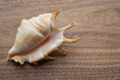Conch on a wooden top Stock Photography
