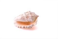 Concha de berberecho del mar fotos de archivo
