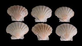 Concha de berberecho del mar foto de archivo libre de regalías