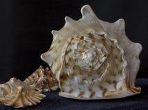 Concha de berberecho grande Cierre encima de la textura de la concha del caracol imagenes de archivo