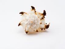 Concha de berberecho-vio Fotos de archivo