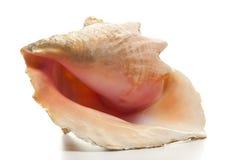 Concha de la reina - caracol de mar del Strombus aislado Fotografía de archivo