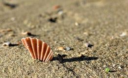Concha de peregrino Shell quebrada Imagen de archivo libre de regalías