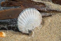 Concha de peregrino Shell And Seaweed imágenes de archivo libres de regalías