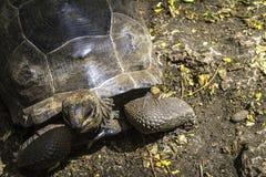 Concha de tartaruga antiga Fotos de Stock Royalty Free
