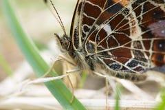 Concha de tartaruga pequena Foto de Stock