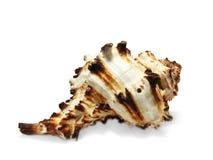 Concha del mar aislada en blanco. Foto de archivo