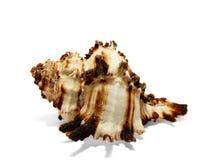 Concha del mar aislada en blanco. Fotos de archivo