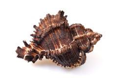 Concha del mar en blanco Fotos de archivo