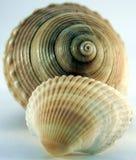 Concha del shell del mar Foto de archivo libre de regalías