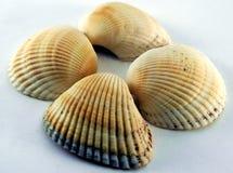Concha del shell del mar Fotografía de archivo libre de regalías