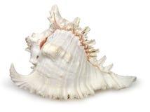 Concha do mar Imagens de Stock Royalty Free