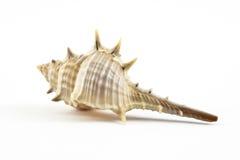 Concha do mar Fotos de Stock Royalty Free