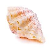 Concha do mar bivalve imagens de stock
