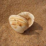 Concha do mar bivalve imagens de stock royalty free