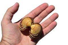 A concha do mar bivalve dos moluscos realizou na mão esquerda do homem adulto, fundo branco imagens de stock royalty free