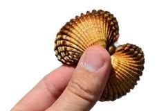 A concha do mar bivalve dos moluscos realizou na mão esquerda do homem adulto, fundo branco imagem de stock