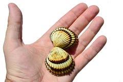 A concha do mar bivalve dos moluscos realizou na mão esquerda do homem adulto, fundo branco foto de stock