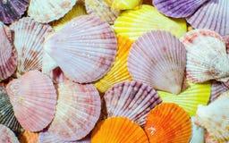 Concha do mar colorida da vieira Imagens de Stock Royalty Free